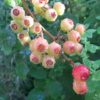 【家庭菜園】ブルーベリーの収穫