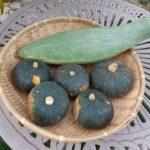 ミニカボチャ「栗坊」の3代目収穫