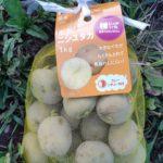 ジャガイモ ニシユタカの植え付け