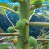 【家庭菜園】パパイヤの実が大きくなってきた ハワイオウロ