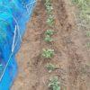 ジャガイモ ニシユタカの様子 追肥と土寄せ