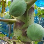 【家庭菜園】パパイヤ栽培 ハワイオウロの様子