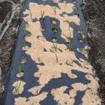 今年収穫したニンニクの発芽