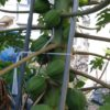 庭でパパイヤ栽培にチャレンジ まとめ ハワイオウロ