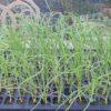 セルトレイ育苗した玉ねぎ苗の植え付け 2本植え栽培