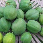 【家庭菜園】庭で栽培中の青パパイヤを収穫 ハワイオウロ