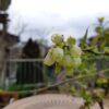 ハイブッシュブルーベリーの開花 エリザベス