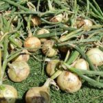 たまねぎ 極早生品種「スーパーリニア玉葱」収穫