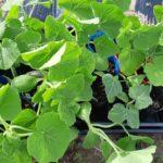 【市民農園】カボチャの植え付け。今年も自家採種品種を栽培