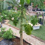 庭でパパイヤ栽培 2年目に突入|ハワイオウロ