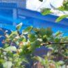 ブルーベリーガーデン|ハイブッシュ系の実が大きくなってきた