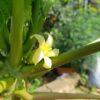 パパイヤの花が咲いた ハワイオウロ
