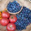 ハイブッシュブルーベリー 収穫最盛期