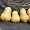 バターナッツカボチャの収穫と冬至カボチャの種まき