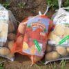秋ジャガイモの植え付け 今年はデジマとアンデスレッド