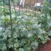 メロンの空中栽培の様子。プリンスメロンが着果。